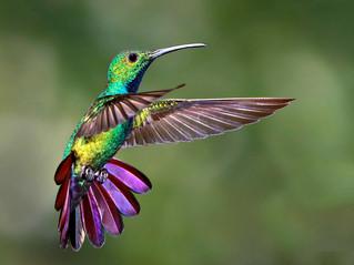 Le colibri, les colibris