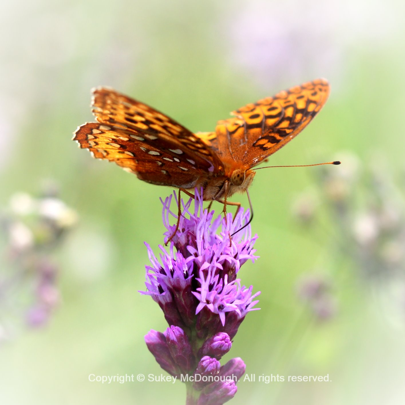 Backyard Fritillary