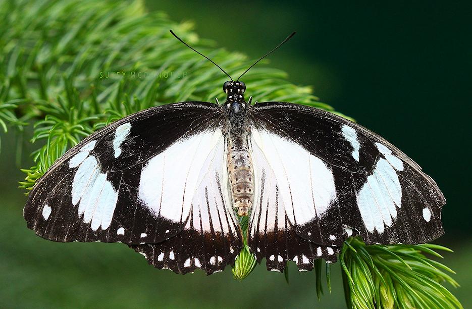 Glory Wings