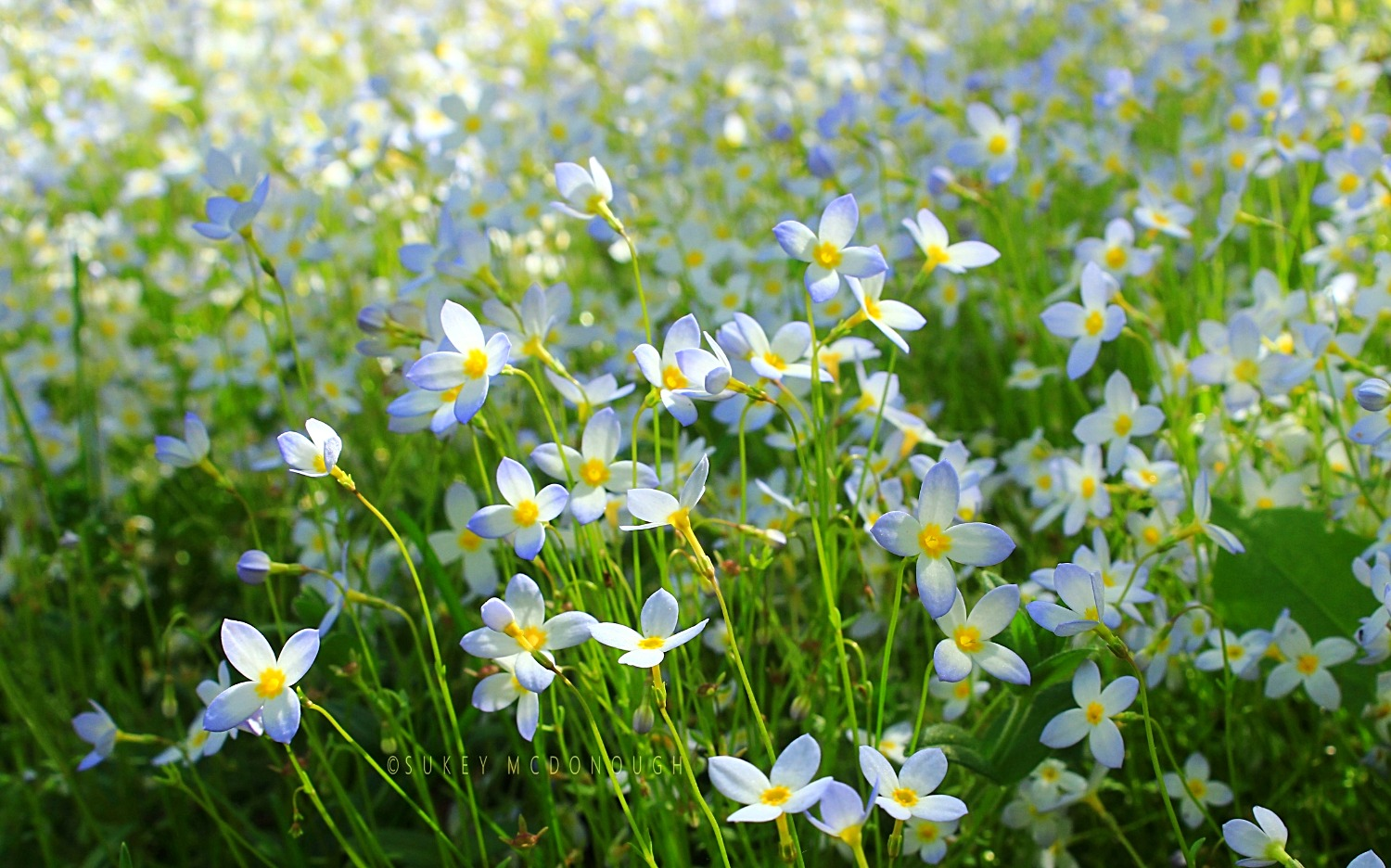Sea of Bluets