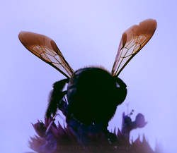 Bumble Wings
