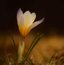 Crocus at Dusk