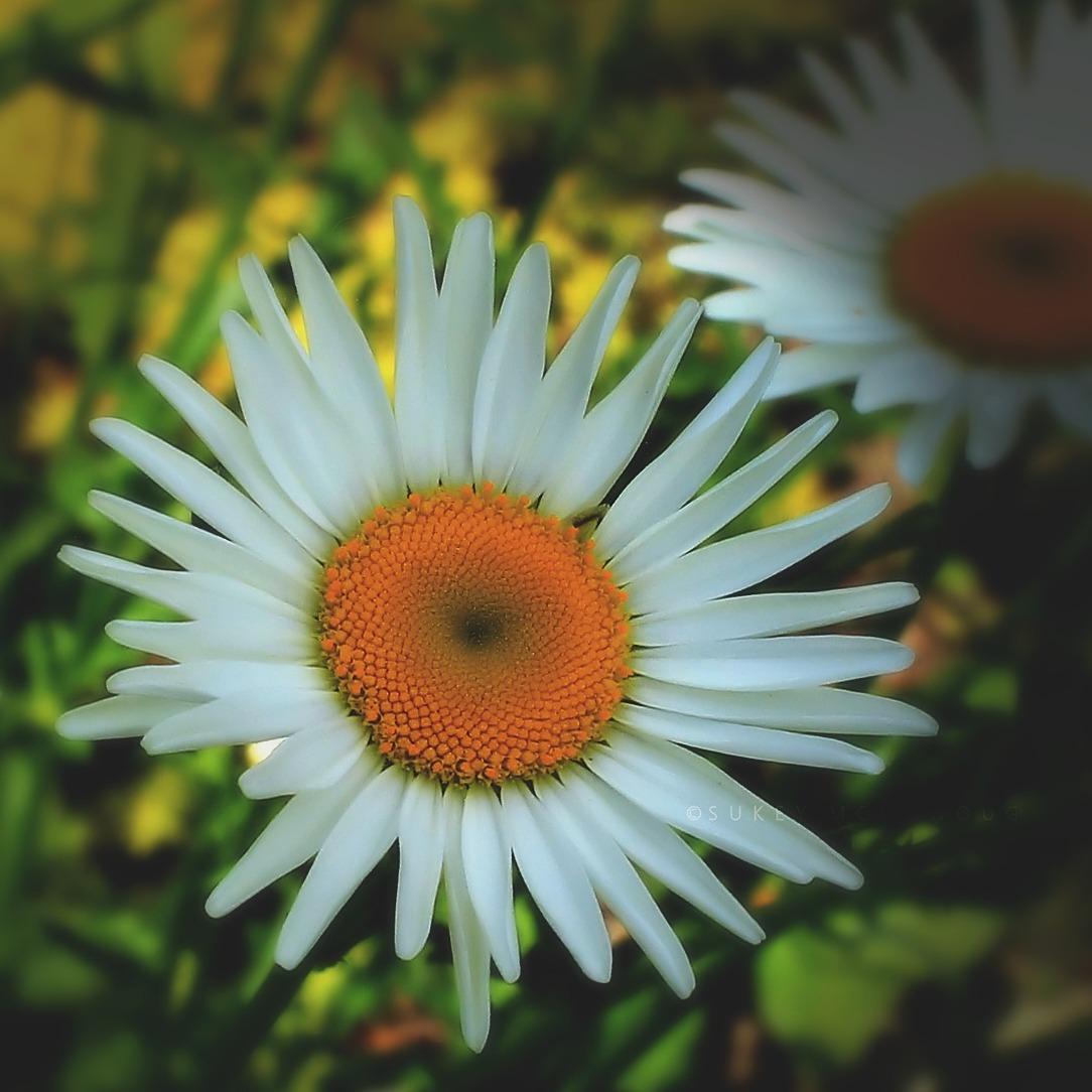 Daisy...Daisy...Daisy