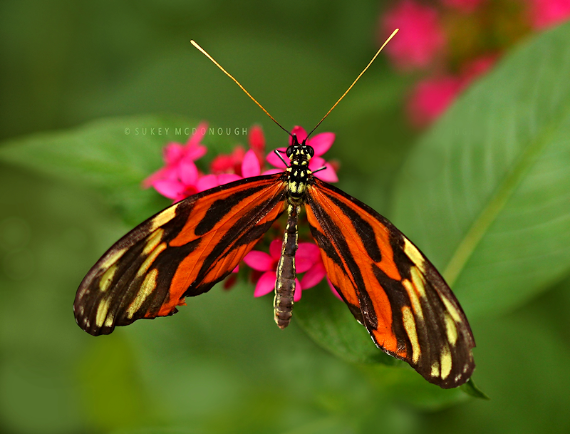 Tiger Wings