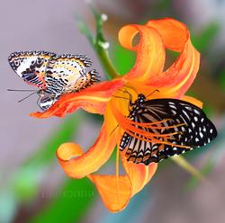 Orange Lily 3