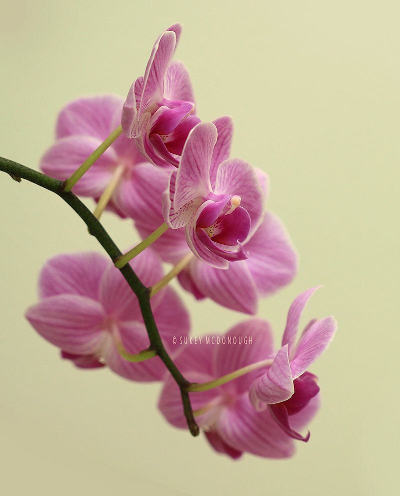 Orchid Blooms Pink 4