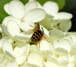 Diving Into the Hydrangea