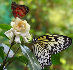 White Gardenia and Visitors