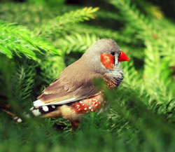 Finch (Fringillidae)