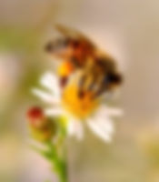 Small Bees on Asters