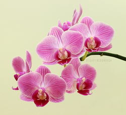 Orchid Blooms Pink 3