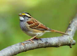 White-Throated Sparrow (revisited)