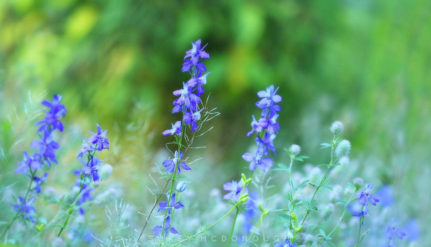 Larkspur and Rabbitfoot Clover