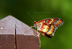 Lacewing on Post