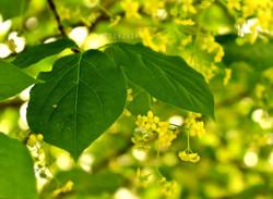 Flowering Euonymus