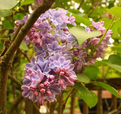Lilacs Blooming!