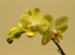 Yellow Blooms and Buds