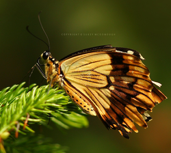 Tattered Wing