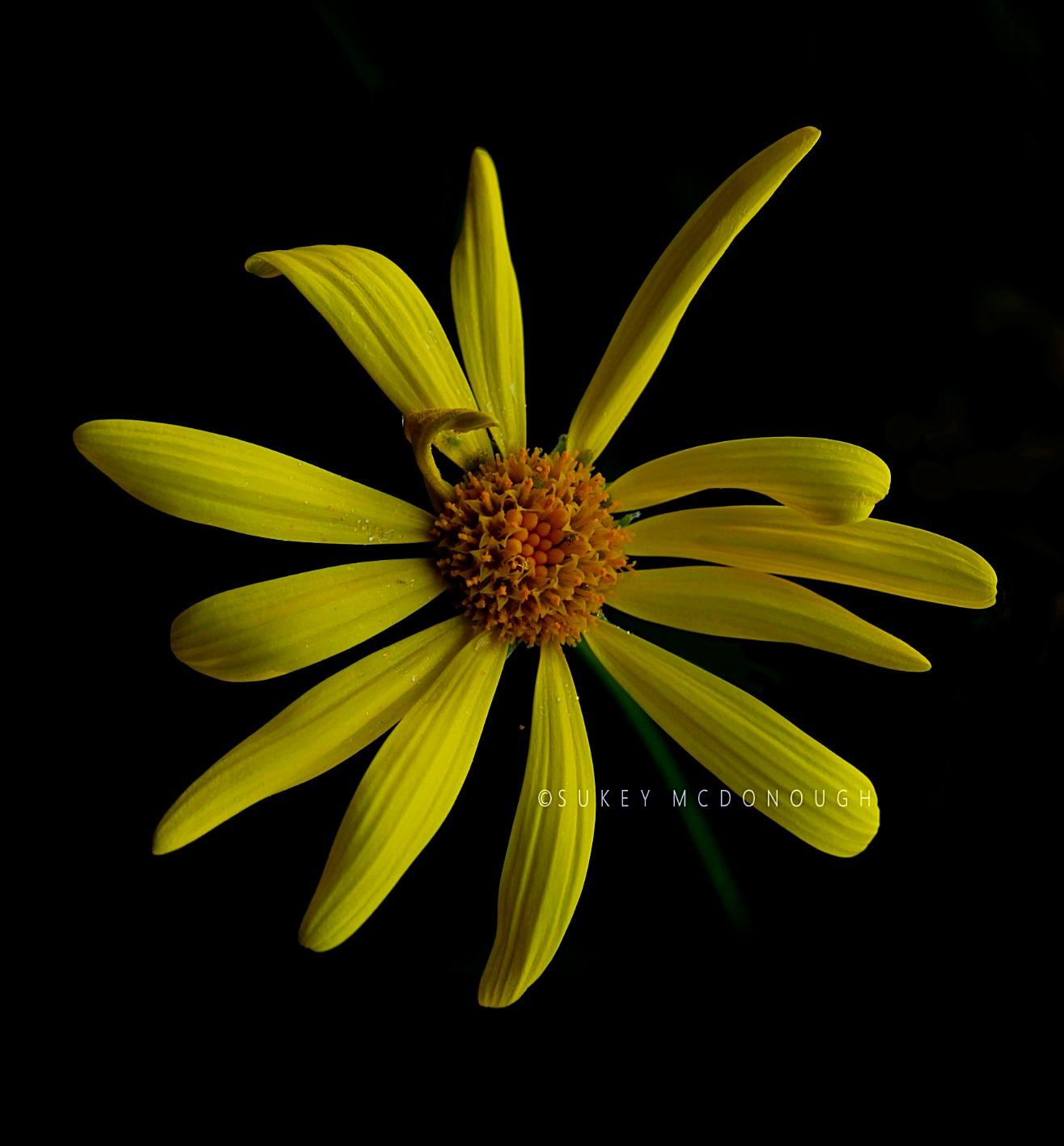 Greenhouse Daisy