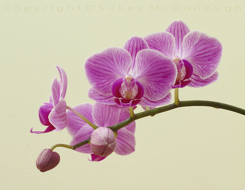 Orchid Blooms and Buds