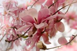 Magnolia 'Forrest's Pink'