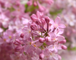 Lilac Blooms and Buds