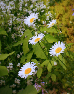 Daisies on the Path