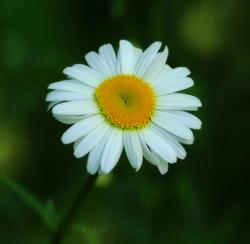 Daisy...Daisy