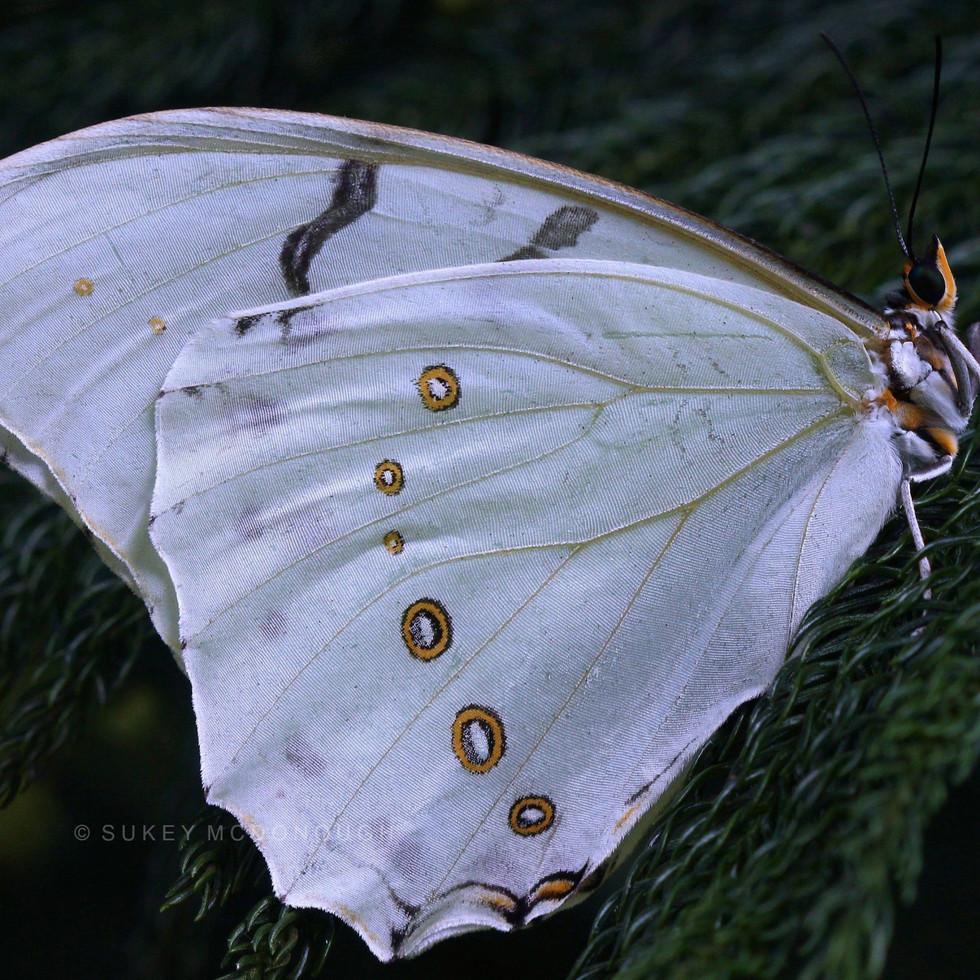 White Morpho on Evergreen