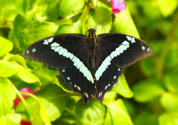 Blue-Banded Swallowtail