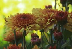 Chrysanthemum Light