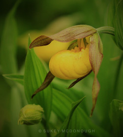 Lady Slipper (and Her Little Bud)