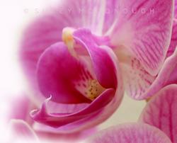 Phalaenopsis Single