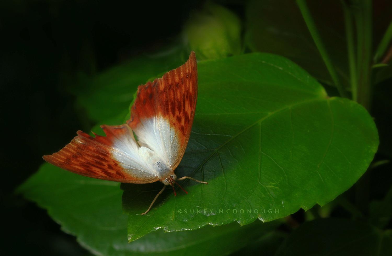 A Pearl Among Butterflies