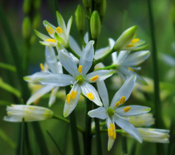 St. Bruno's Lily