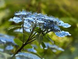 Blue Billow
