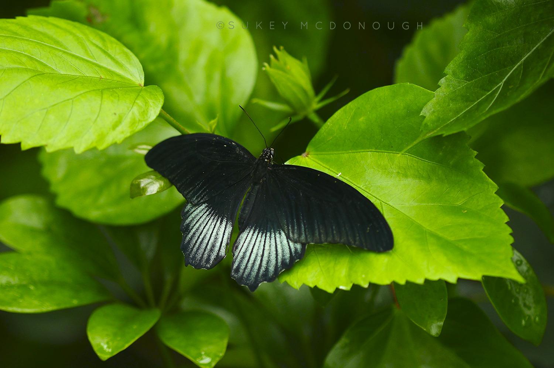 Scarlet Swallowtail (male)