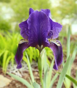 Purple Iris 2