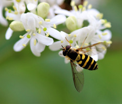Pollinating Seven Sons Blossoms