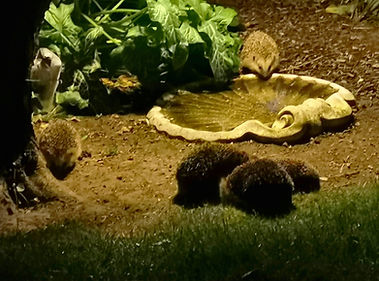 Pindsvine møde