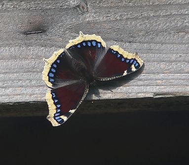 Sørgekåbe, en af vores største sommerfugle, vingefang 62-77 mm.