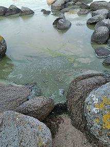Alger blomstrer i havet omkring Danmark