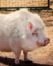 Miss Piggy.jpg