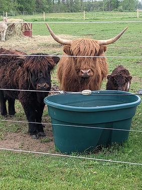 Water cows.jpg