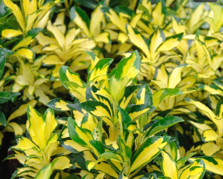 Evergreen Euonymus or Japanese Euonymus (Euonymus japonicus)