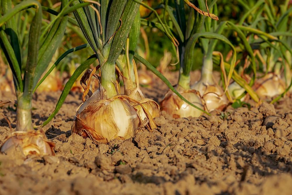 Growing Onions in Garden