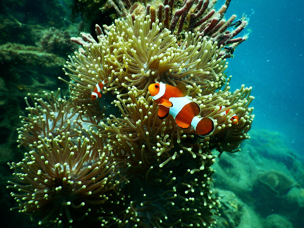 clownfish in fish tank