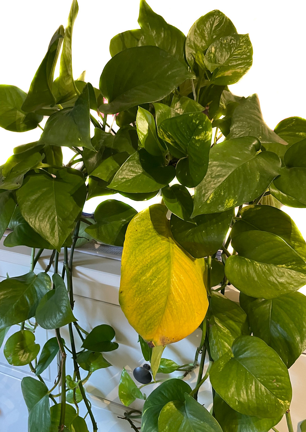 Pothos with Yellowing Leaves