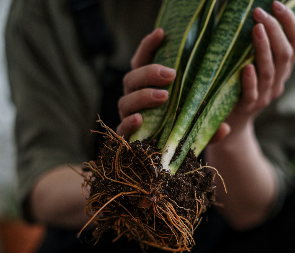 Snake Plant Roots