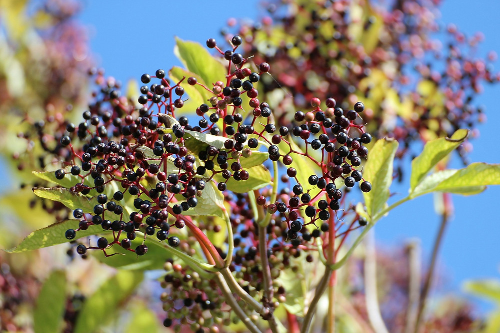 Black Beauty Elderberry (Sambucus nigra 'Black Beauty')
